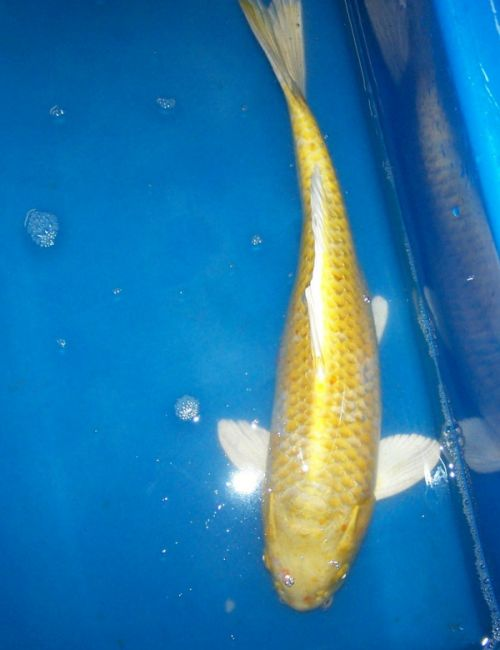 Koi for sale 20 inch male hariwake for Koi hariwake